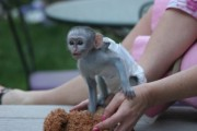 Female White Faced Capuchin Monkeys   White faced female Capuch