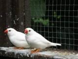 طائر الزيبرا زوجين باعش