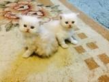 Full pedigree white Persian kittens