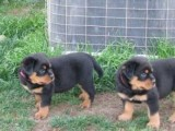 Special little Rottweiler puppies