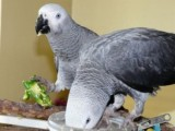 well tarined African grey parrots for re-homing