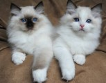 Persian Kittens male and female available