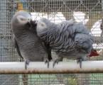 الببغاوات الإناث والببغاء البيض المخصب للبيع الذكور صحي و.