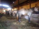 خيول اصيلة للبيع
