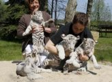 Cute White male and female Tigers Cubs  For Sale