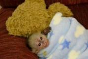 Beautiful Capuchin Monkey for Adoption