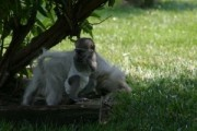 Intelligent Capuchin Monkey for Sale