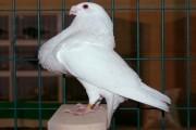 pigeon granadino