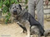 كلب قوقازي
