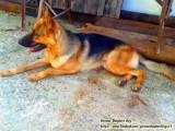 كلب بارجي المو للبيع  عمره 5 اشهر  للتواصل 0777941036