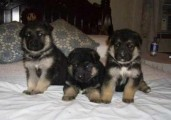Outstanding Quality German Shepherd Puppies Out going forever Ho