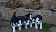Siberain Husky Puppies for Adoption