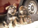 cute German shepherd puppies for adoption