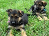 Cute Male and Female German Shepherd Puppies