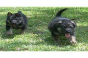 German shepeherd puppies ready for new homes