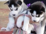 QUALITY SIBERIAN HUSKY PUPPIES FOR ADOPTION
