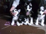 Pedigree Ready Now Stunning Blue Eyes Siberian Husky puppies