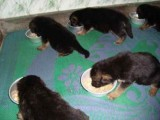 Pure breed German Shepherd Puppies ready for adoption