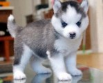 Efficient Siberian husky puppies