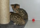 Bengal Kitten as New year Present